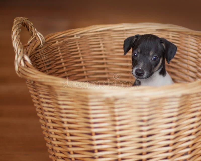 Het puppy van rattenterrier in rieten mand stock afbeeldingen