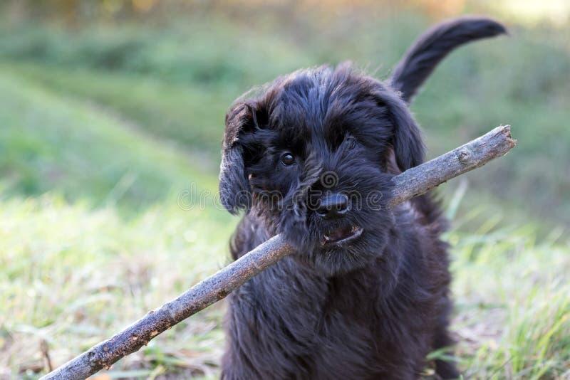 Het puppy van Reuze zwarte schnauzerhond royalty-vrije stock foto's