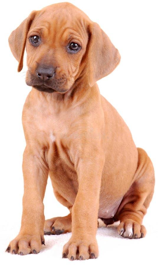Het puppy van Rhodesian op wit royalty-vrije stock fotografie