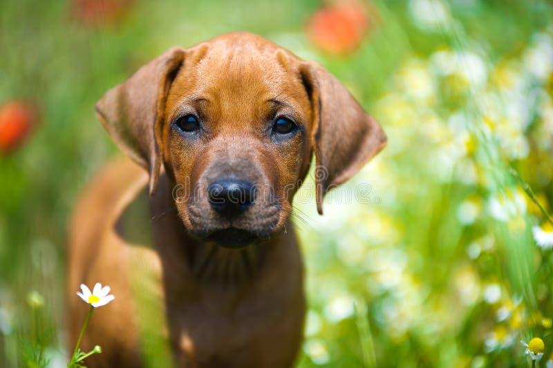 Het puppy van Rhodesian ridgeback op een gebied royalty-vrije stock foto