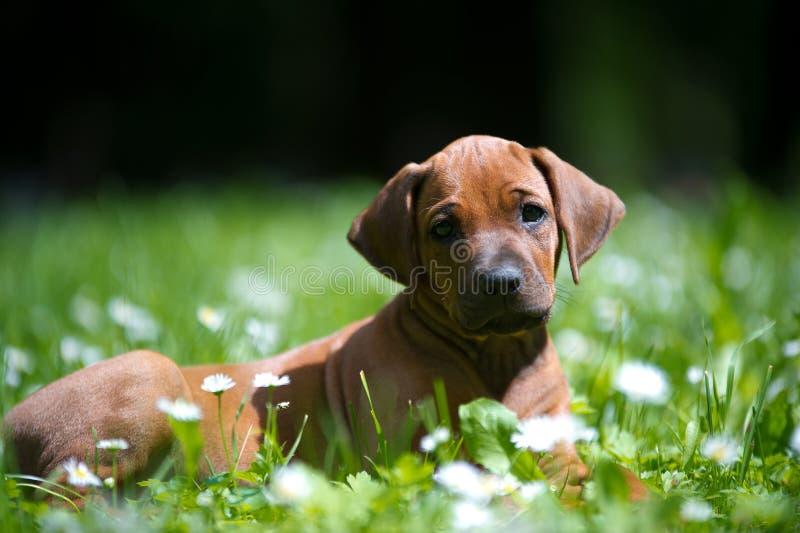 Het puppy van Rhodesian ridgeback in openlucht stock foto's