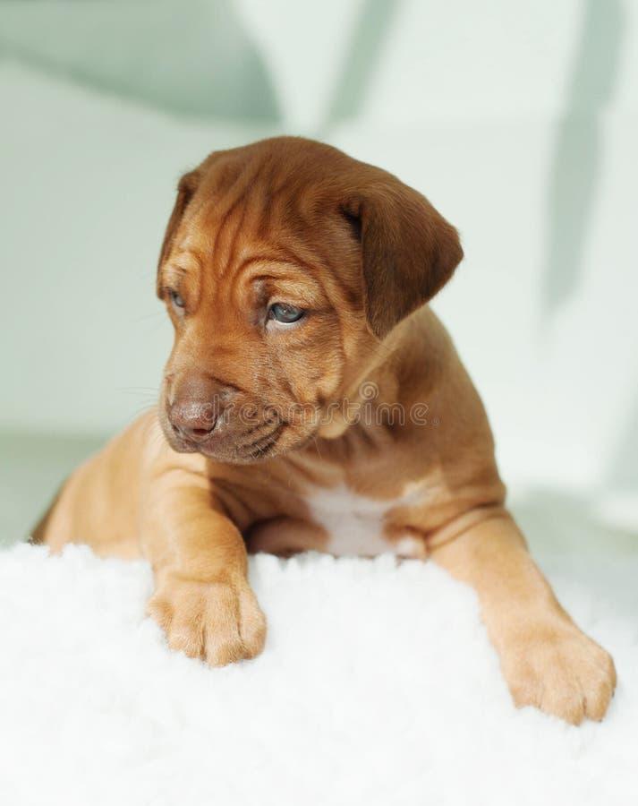 Het puppy van Rhodesianridgeback op wit stock afbeeldingen