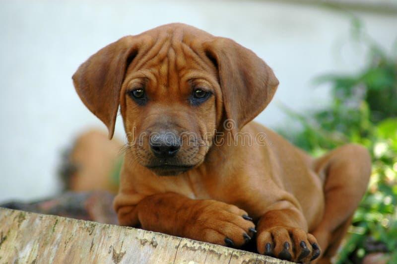 Het puppy van Ridgeback royalty-vrije stock afbeeldingen