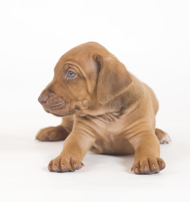 Het puppy van Ridgeback van Rhodesian, 5 weken oud, het liggen royalty-vrije stock foto