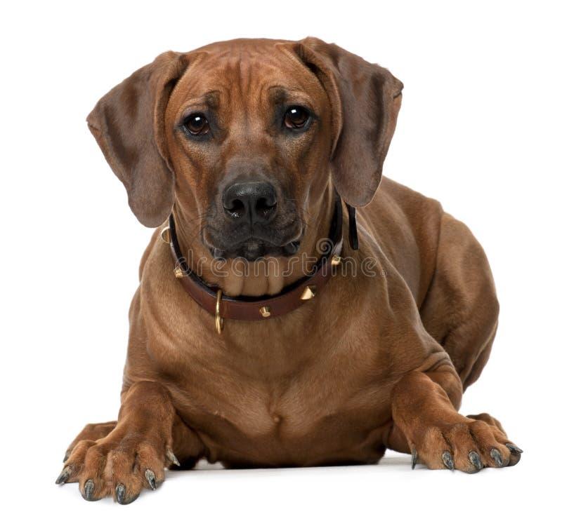 Het puppy van Ridgeback van Rhodesian, 7 maanden oud, het liggen royalty-vrije stock foto