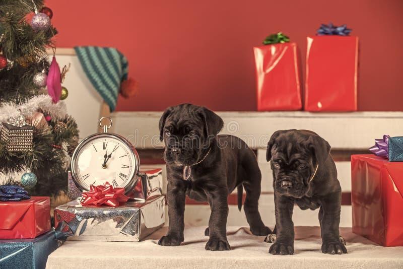 Het puppy van rietcorso bij Kerstboom en huidige doos stock afbeelding