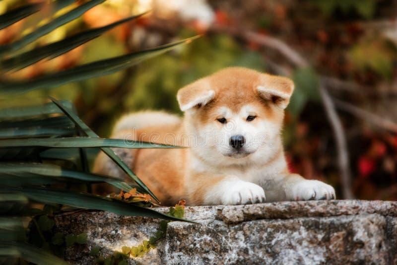 Het puppy van rode Akita-honden legt op treden in aard op zonneschijn royalty-vrije stock afbeeldingen