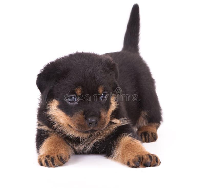Het puppy van Rottweiler stock foto's