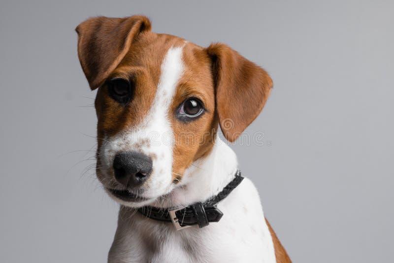 Het puppy van Russell Terrier van de hefboom royalty-vrije stock fotografie