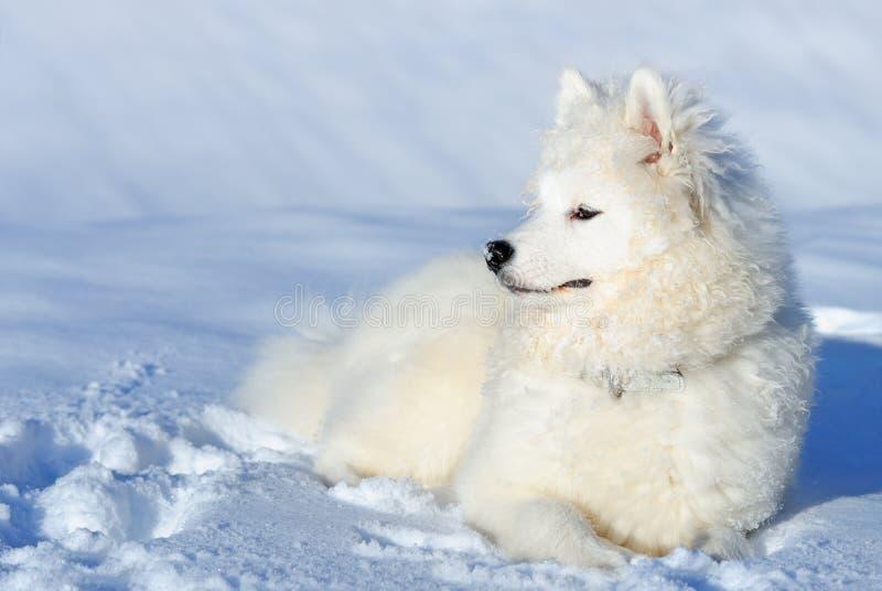Het puppy van Samoyed stock fotografie