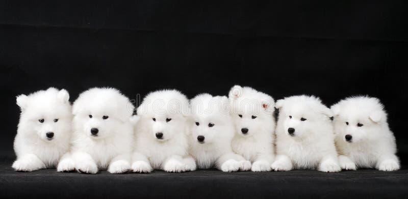 Het puppy van Samoyed stock afbeelding