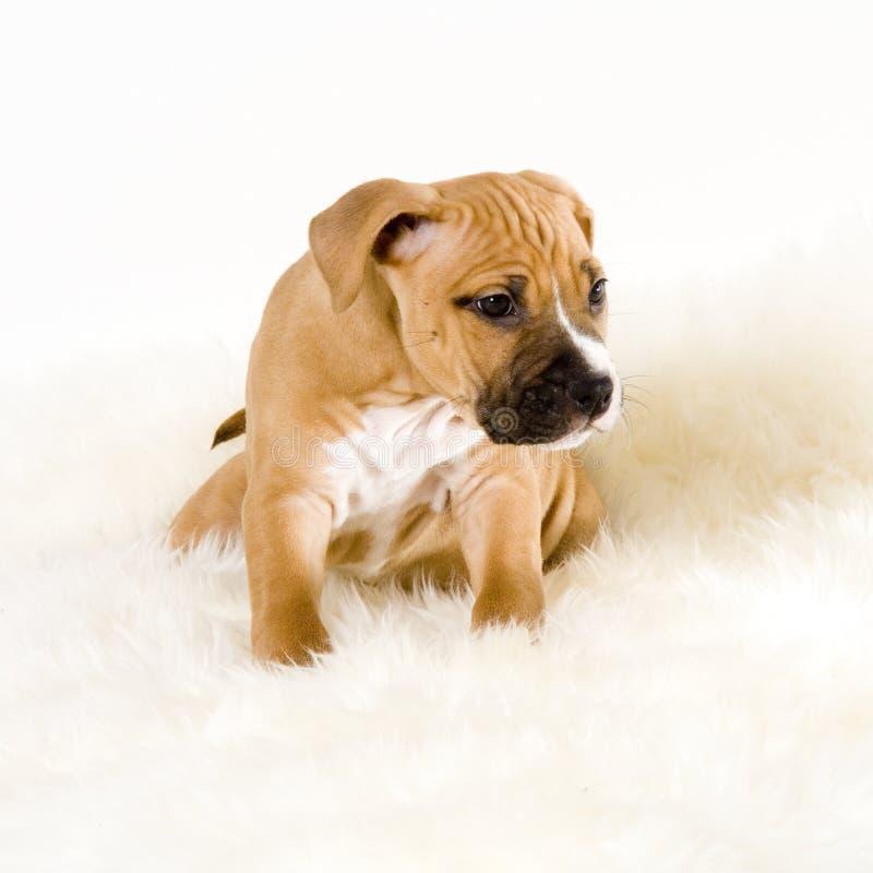 Het puppy van Stafford royalty-vrije stock fotografie