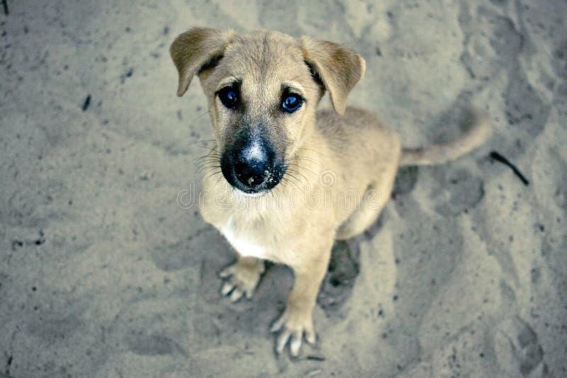 Het puppy wacht en zit op het zand. stock afbeelding