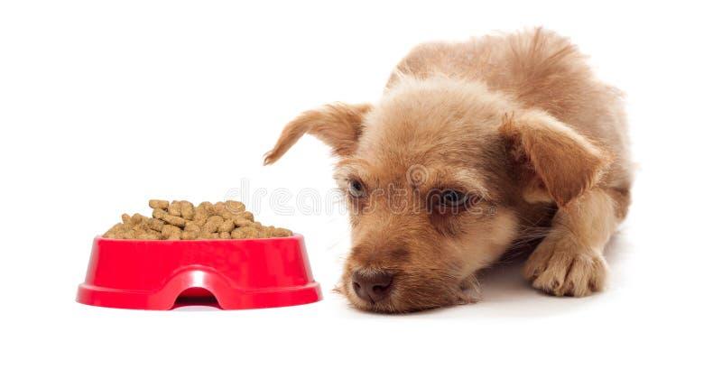 Het puppy wil geen droog voedsel eten stock afbeelding