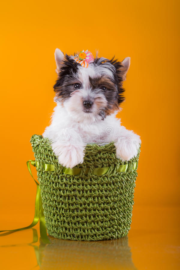 Het puppy York van de Beverterriër stock afbeeldingen