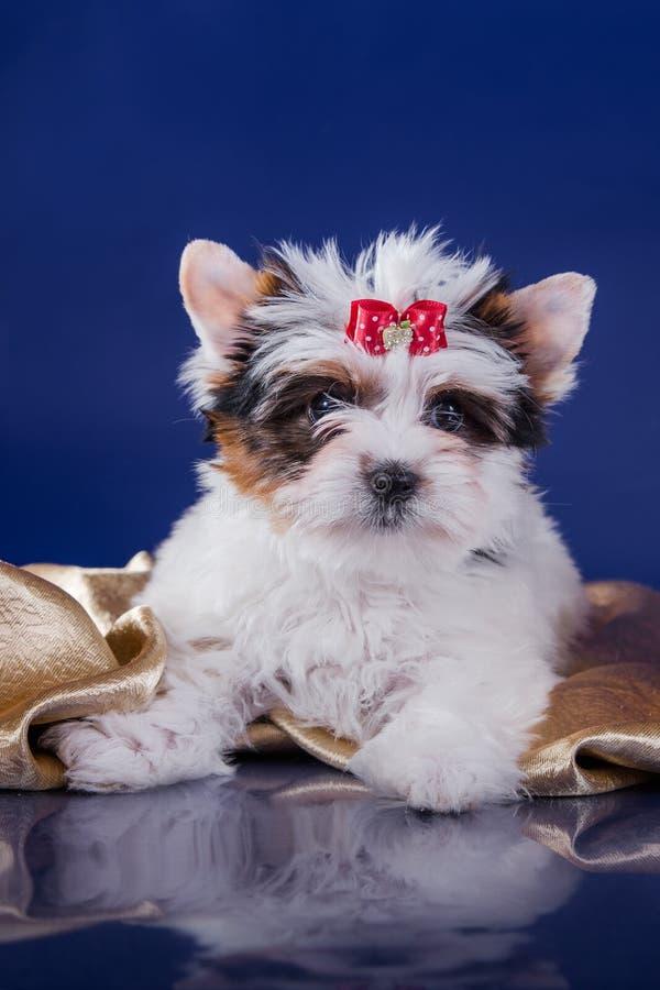 Het puppy York van de Beverterriër stock afbeelding
