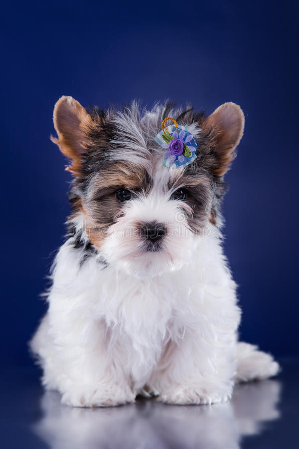 Het puppy York van de Beverterriër royalty-vrije stock fotografie