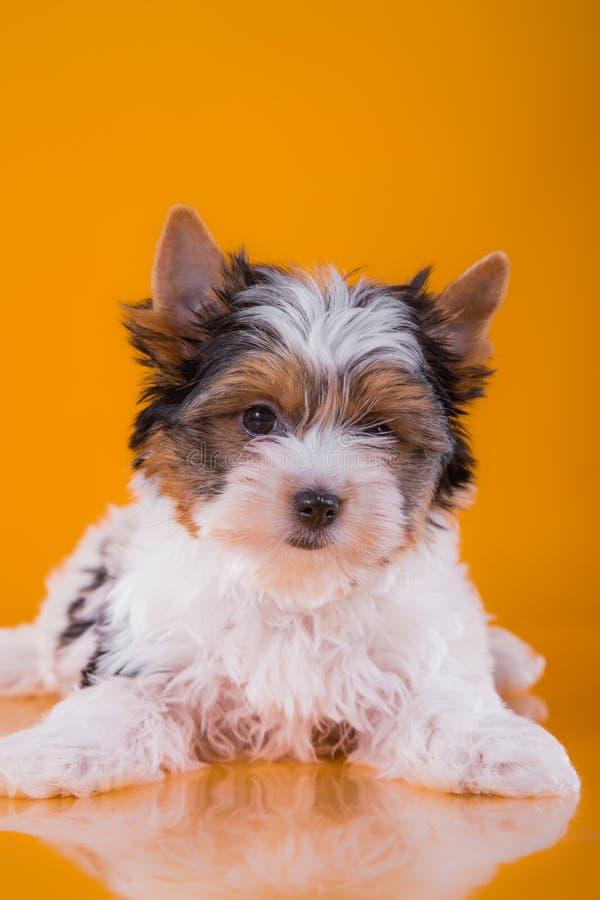 Het puppy York van de Beverterriër royalty-vrije stock foto