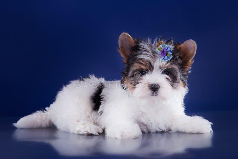 Het puppy York van de Beverterriër stock foto's