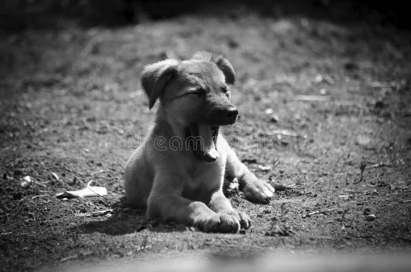 Het puppy is zeer leuke geeuwen Ligt in de zon zwart-wit royalty-vrije stock afbeelding