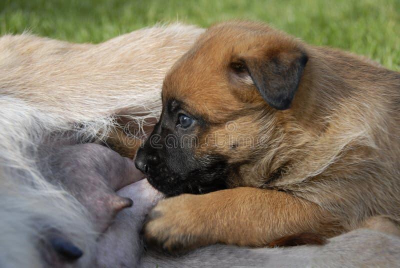 Het puppy zoogt royalty-vrije stock afbeeldingen