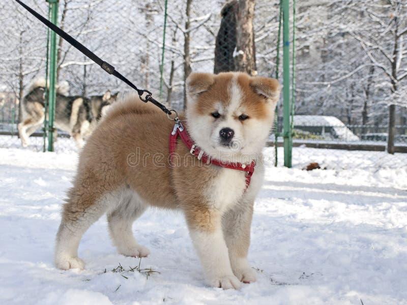 Het puppyhond van Inu van Akita stock afbeeldingen