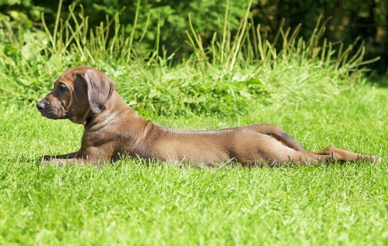 Het puppyhond van Rhodesianridgeback in openlucht royalty-vrije stock afbeelding