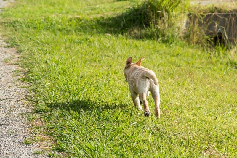 Het Puppylooppas van Labrador weg met omhoog Oren stock afbeeldingen