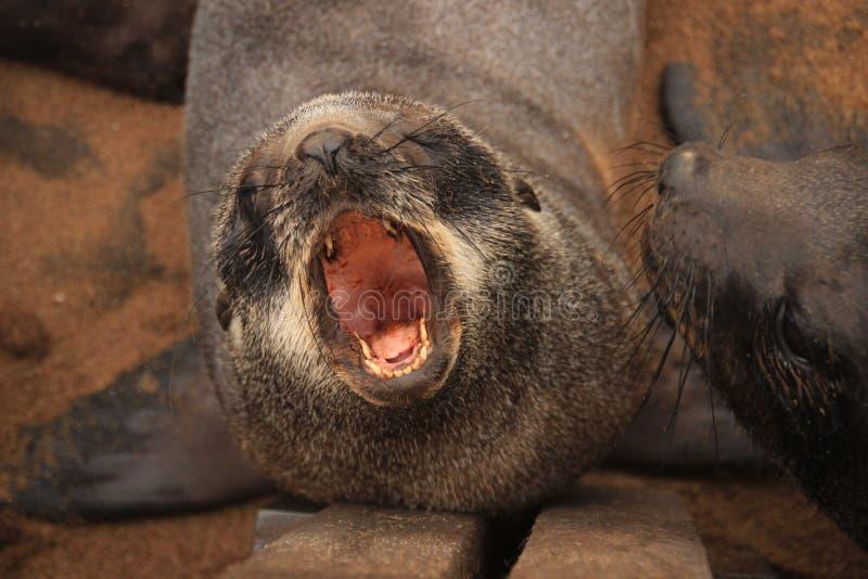 Het puppyschreeuwen van de bontverbinding op het strand van de Atlantische Oceaan royalty-vrije stock afbeelding