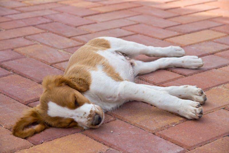 Het puppyslaap van Bretagne in openlucht royalty-vrije stock fotografie