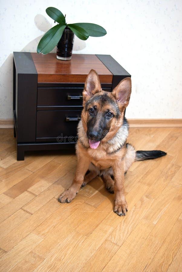 Het puppyzitting van de Duitse herder voor vloer stock foto