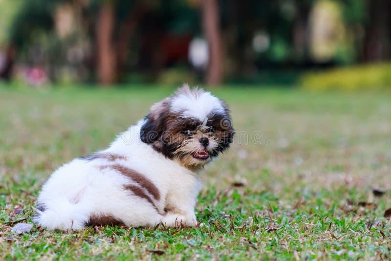 Het puppyzitting van Tzu van Shih op groen gras royalty-vrije stock foto's