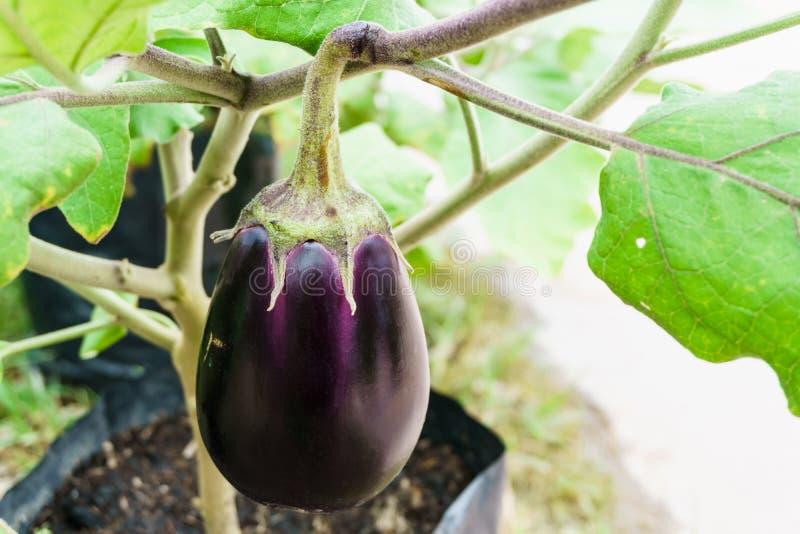 Het purpere aubergine groeien op de installatie stock afbeeldingen