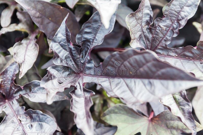 Het purpere Beverblad groeit in de tuin bij de zomer stock fotografie