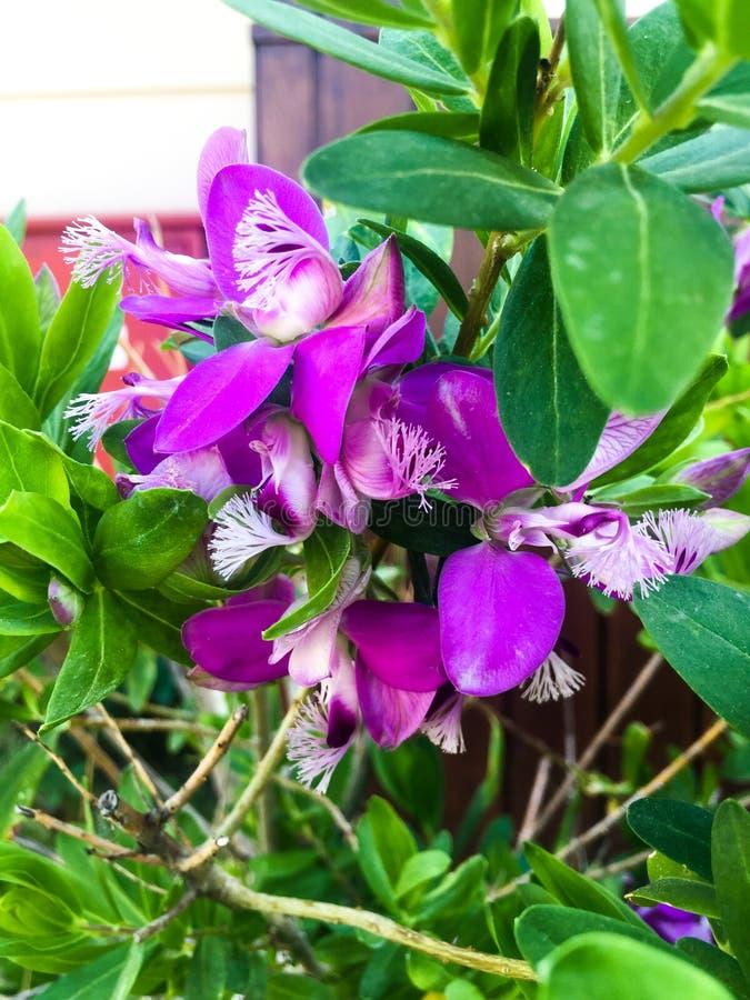 Het purpere bloemen bloeien royalty-vrije stock afbeeldingen