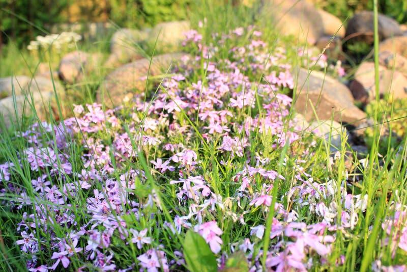 Het purpere bloemen groeien stock afbeelding