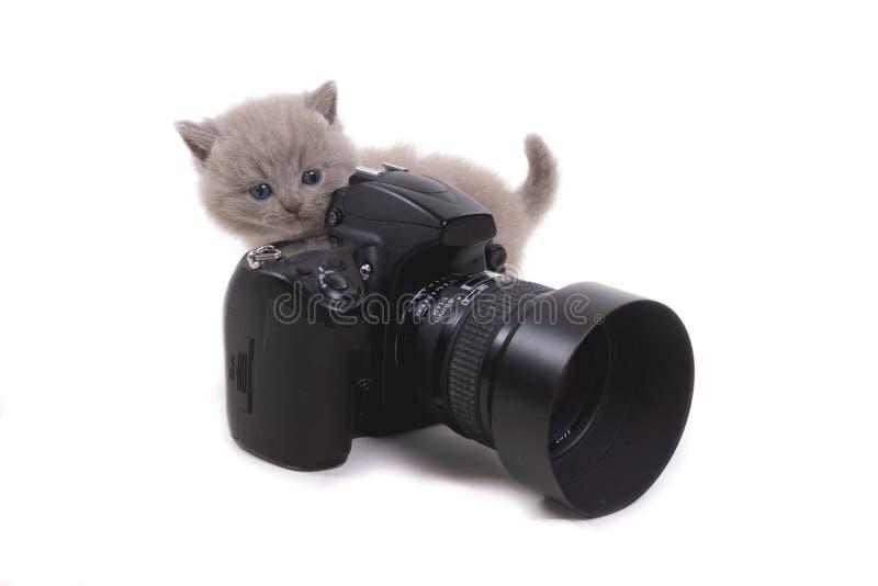 Het purpere Britse katje bevindt zich op een witte achtergrond en bekijkt hierboven de camera van leeftijd 1 maand royalty-vrije stock afbeeldingen