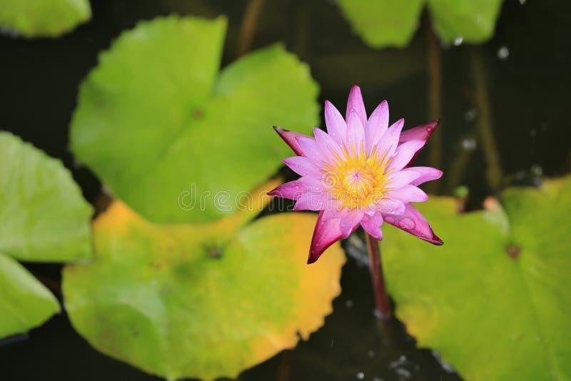 Het purpere de bloem van Lotus bloeien stock afbeelding