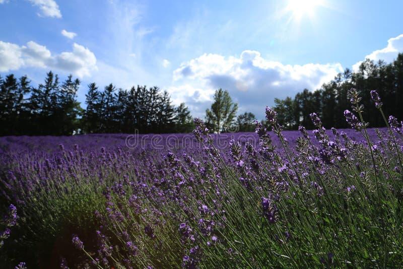 Het purpere Gebied van de Lavendel stock foto
