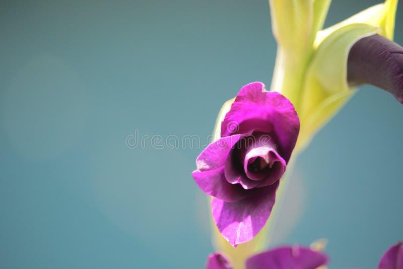 Het purpere Gladiola-Bloeien stock afbeeldingen