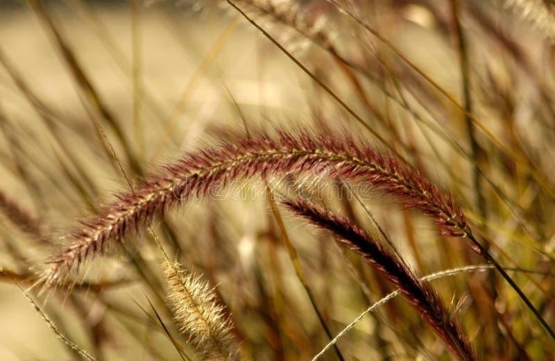 Het purpere Gras van de Fontein stock afbeelding