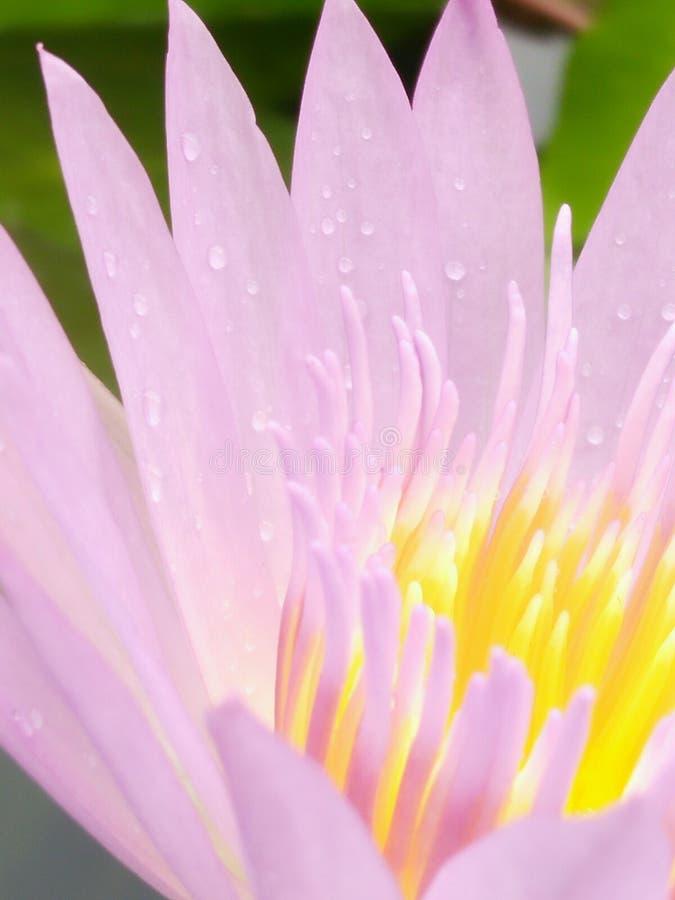 het purpere stuifmeel van de lotusbloembloem royalty-vrije stock afbeeldingen