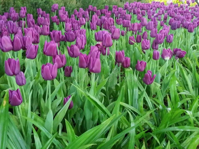 Het purpere tulpen Tot bloei komen, die prachtig bloeien stock afbeeldingen