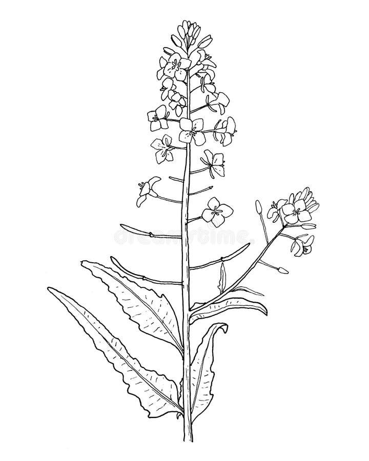 Het raapzaad doorbladert en bloeit hand trekt illustratie vector illustratie