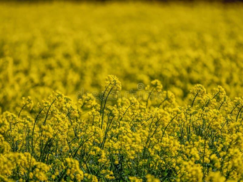 Het raapzaadgebied in de lente met unfocused achtergrond royalty-vrije stock fotografie