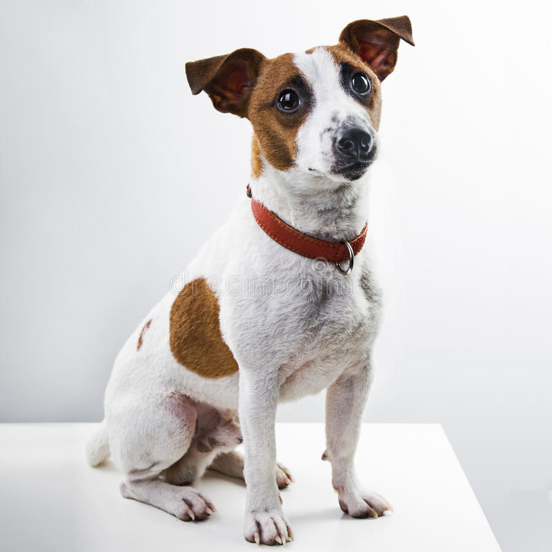 Het ras Jack Russell Terrier van de jongenshond stock foto's