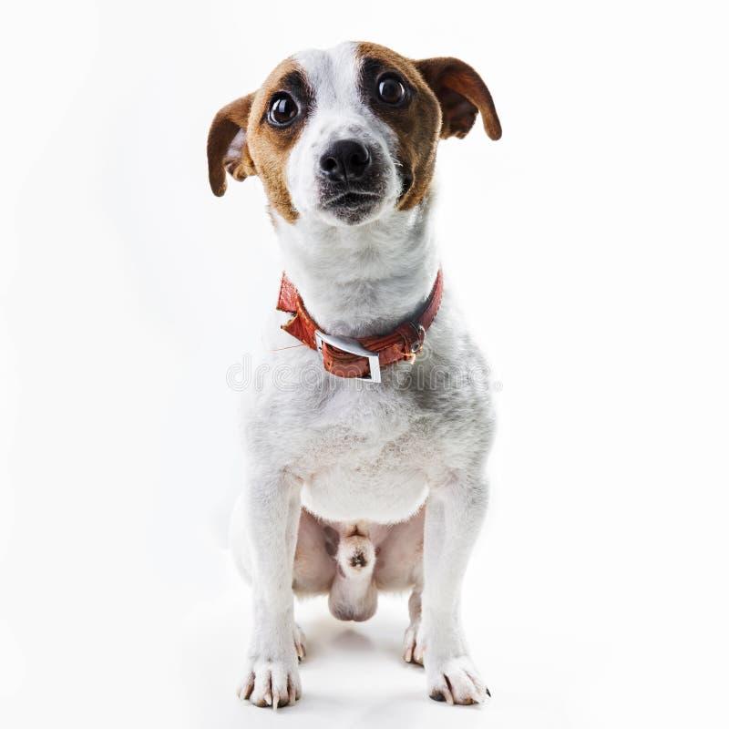 Het ras Jack Russell Terrier van de jongenshond royalty-vrije stock foto's