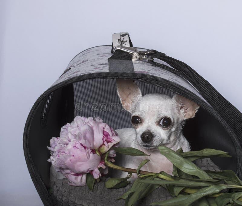 Het ras van de Chihuahuahond in een cabine en met een pioen royalty-vrije stock foto's