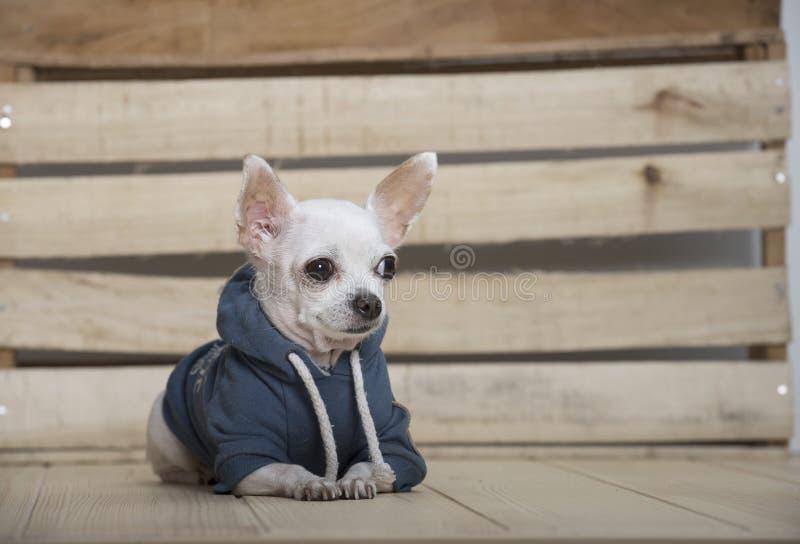 Het ras van de Chihuahuahond stock afbeelding