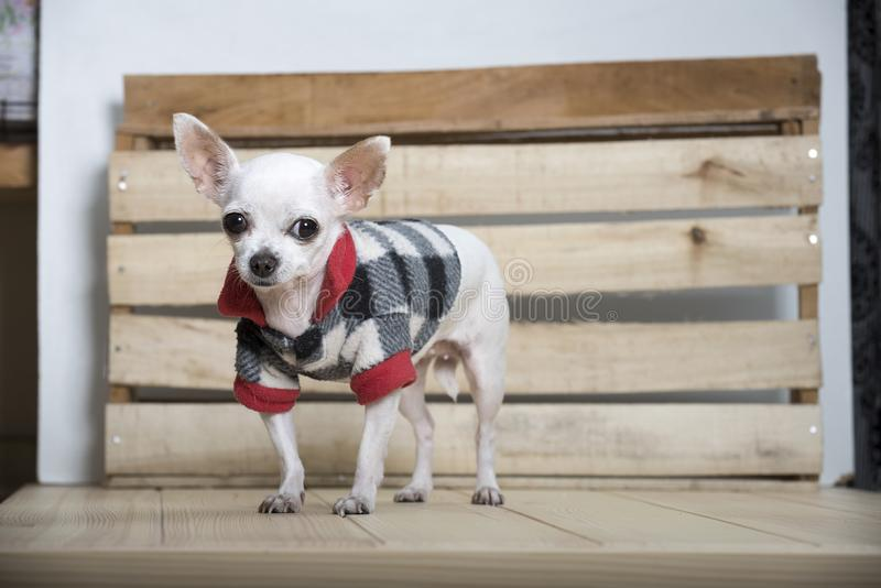 Het ras van de Chihuahuahond stock foto's